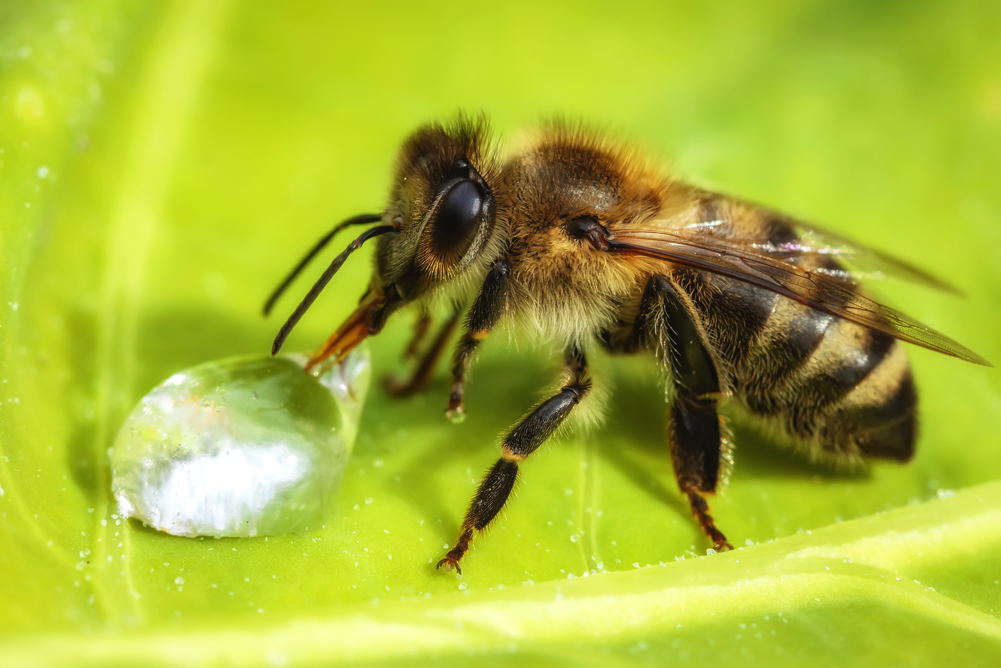 Why Honeybees are Beneficial to the Environment