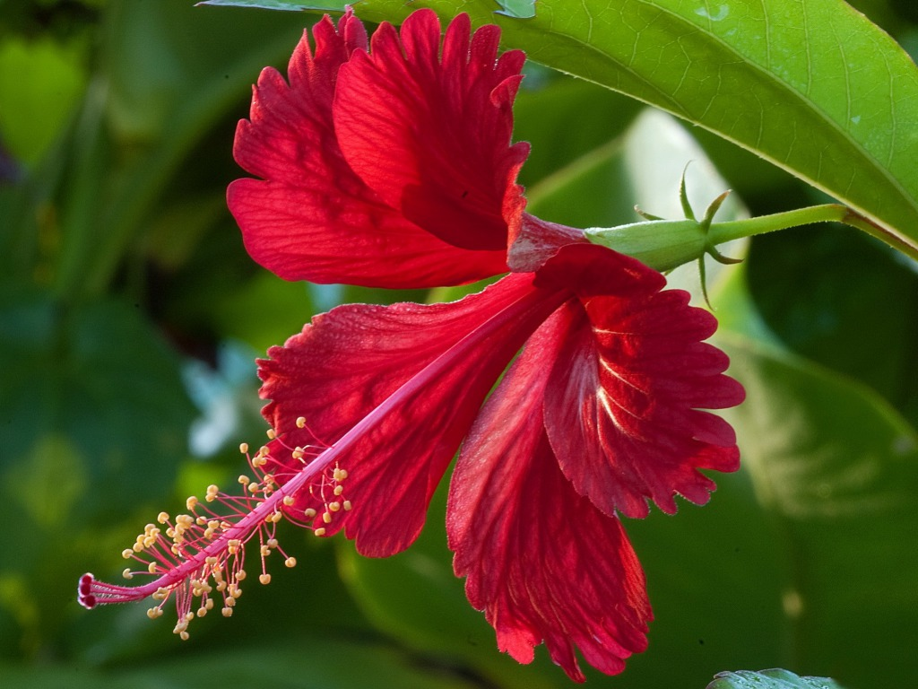 Amazing health benefits of hibiscus izmirmasajfo
